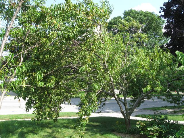 Peach trees overbooked and underpaid anne morse hambrock