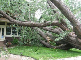 Oldest tree?