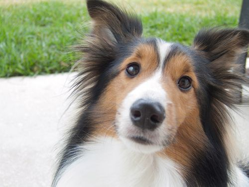 2009-12-31-jazz-sheltie-web