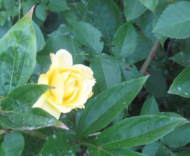 Yellow rose of summer