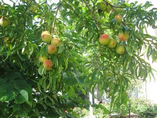 Ripe peaches on good tree