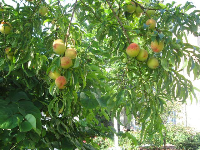 Ripe peaches on good tree