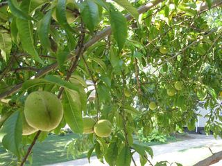 Unripe peaches on bad tree